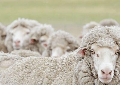 Australian Wool Innovation Limited
